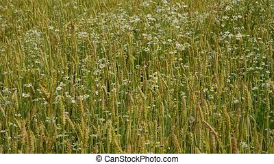 beautiful cereals field with chamomile - A yellow wheat in...