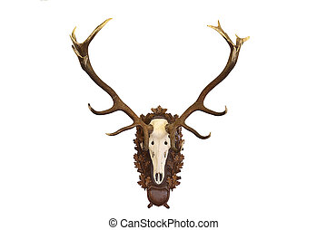 beautiful Cervus elaphus hunting trophy on white