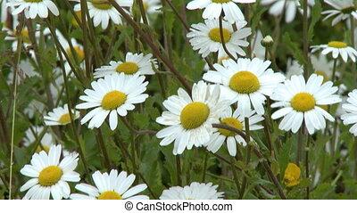 Beautiful Chamomile Flowers - Handheld, medium close up shot...