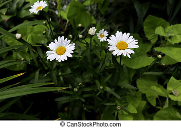 Beautiful chamomiles in garden with green plants