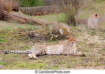 Beautiful Cheetah Gepard, Acinonyx jubatus lying down on...