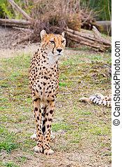 Beautiful Cheetah Gepard, Acinonyx jubatus standing on green...