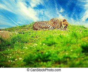 Beautiful cheetah lying on a daisy meadow against blue sky