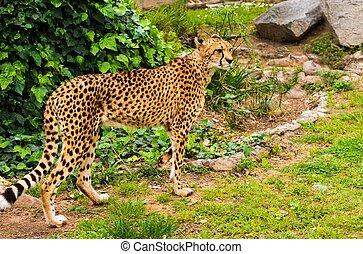 Beautiful cheetah walking outdoors