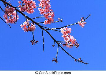 Beautiful cherry blossom,