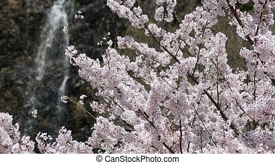 Beautiful cherry blossom tree with waterfall