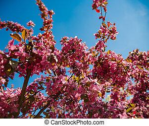 Beautiful cherry blossom, Germany