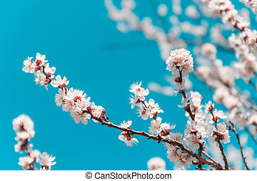 Beautiful cherry blossom on a background of blue sky