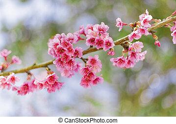 Beautiful Cherry Blossom or Sakura flower background, Soft focus
