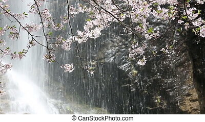 Beautiful cherry blossom with waterfall falling down