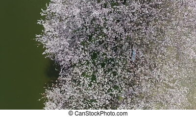 Beautiful cherry blossom tree - Beautiful cherry blossom...