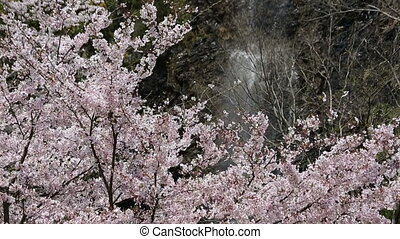 Beautiful cherry blossom tree with waterfall falling down