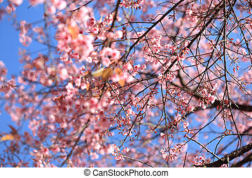 Beautiful cherry blossom with blue sky background