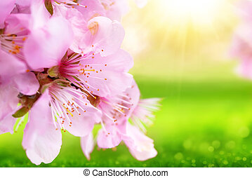 Beautiful cherry blossoms closeup with blurred sunny green background