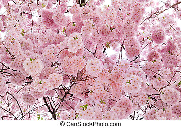 Beautiful cherry blossoms filling the frame
