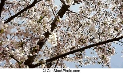 beautiful cherry blossoms tremble. - beautiful cherry...