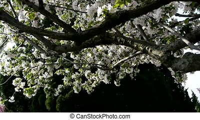 beautiful cherry blossoms tremble in wind,pine.