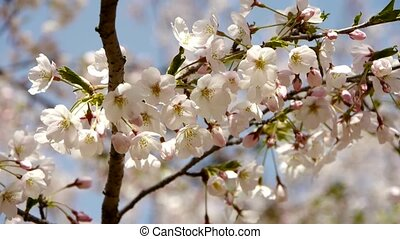 beautiful cherry blossoms tremble in wind.