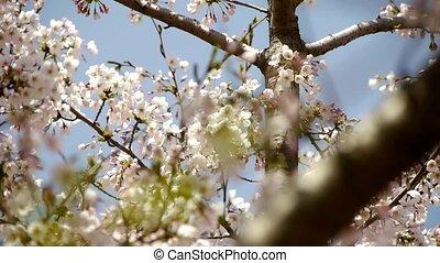 beautiful cherry blossoms tremble