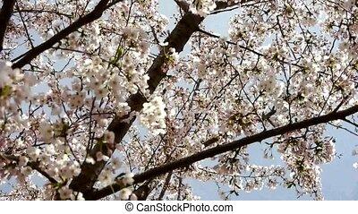 beautiful cherry blossoms tremble. - beautiful cherry...