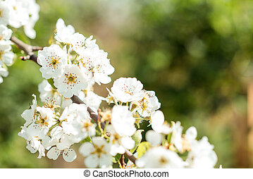 Beautiful cherry blossoms with blue sky. Spring.