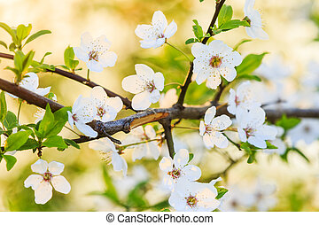 beautiful cherry flowers at sunrise in the warm rays