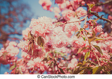 Beautiful cherry in spring time