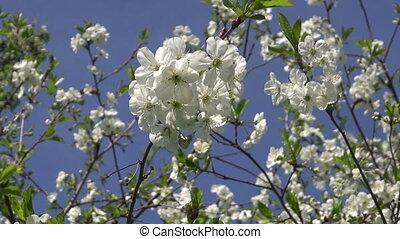 beautiful cherry tree blossoming