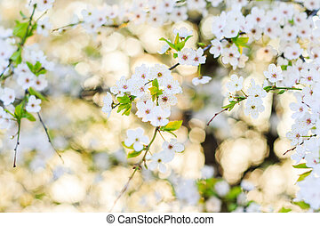 beautiful cherry tree flowers in the morning light