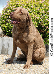 Beautiful Chesapeake Bay Retriever sitting in front of...