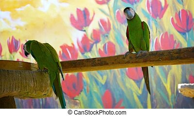 Beautiful Chestnut Fronted Macaws in Captivity