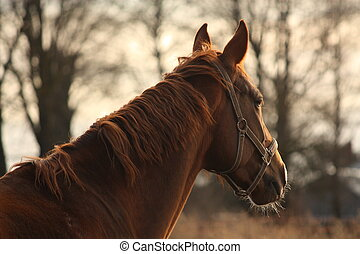 Beautiful chestnut horse portrait in sunset