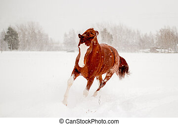 Beautiful chestnut horse running free in the snow