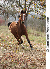 Beautiful chestnut horse running in autumn