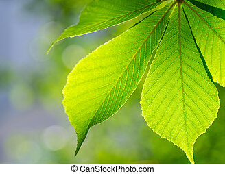 Beautiful chestnut leaf photographed backlit