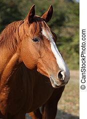 Portrait of beautiful chestnut quarter horse on pasturage in autumn