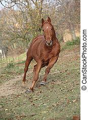 Beautiful chestnut thoroughbred running in autumn