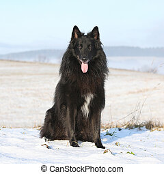 Beautiful Chien de Berger Belge in winter - Beautiful Chien...