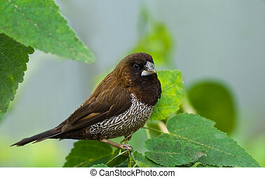 Beautiful chocolate brown species of Bengalese or Society Finch