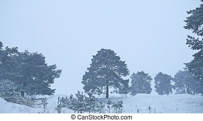 Beautiful christmas tree blizzard in winter landscape in late evening nature in snowfall landscape