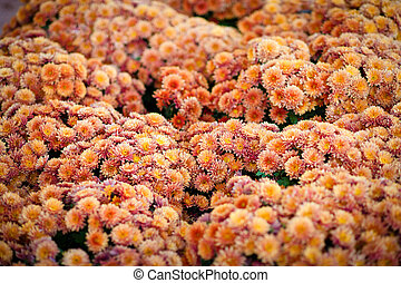 Beautiful chrysanthemum as background picture. wallpaper, chrysanthemums in autumn.