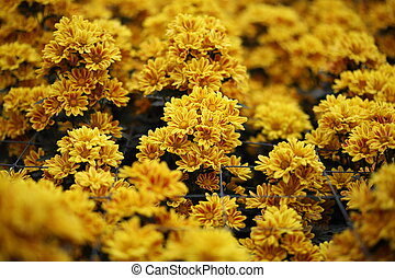 beautiful Chrysanthemum flower blooming in the garden