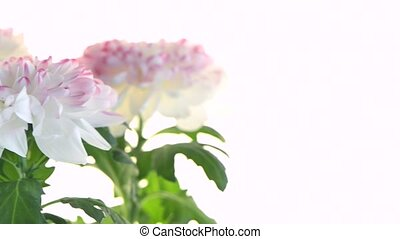 Beautiful Chrysanthemum flowers - Beautiful Chrysanthemum...