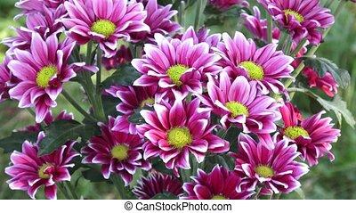 Beautiful chrysanthemum flowers. Closeup shot of blooming chrysanthemum flower.