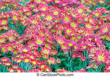 Chrysanthemum - Beautiful Chrysanthemums flower in field...