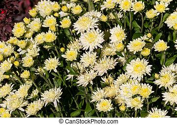 Beautiful chrysanthemums on flowerbed in the garden