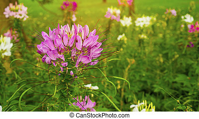 Beautiful Cleome plant in the garden, called in anather name is spider flower, purple, pink and white petals with long stamens and green capsule fruits on blur