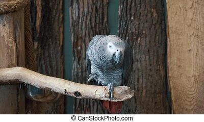 Beautiful close up 4k shot of small tropical grey bird parrot sitting on tree branch looking at camera in wild nature