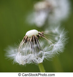 Beautiful close up image of dandelion seed head on lush ...