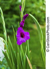 Beautiful close up macro view of gorgeous purple gladiolus flower on green leavs background. Sumer flowers backgrounds.